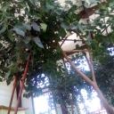 Дерево бодхи в Иволгинском дацане